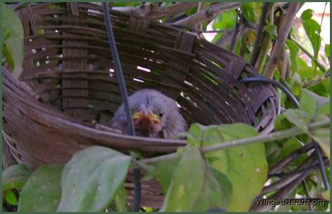 baby jungle babbler