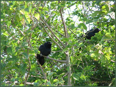 2 male koels hiding in the mulberry tree