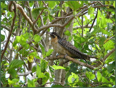 female koel