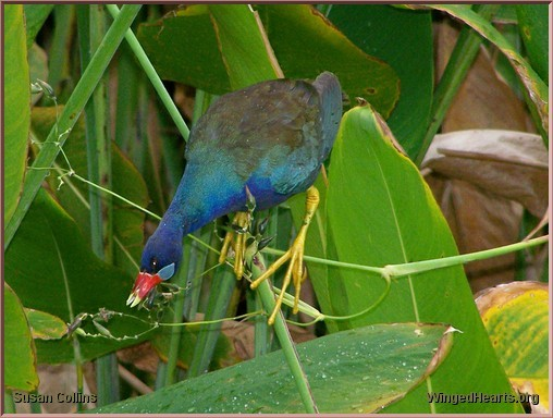 purple gallinule at Green Cay nature center