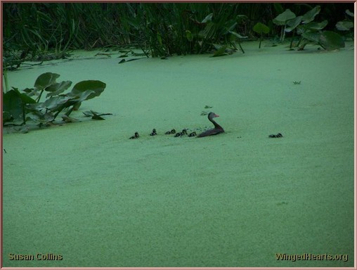 moorehen with her brood swimming in the duckweed at Green Cay Wetlands