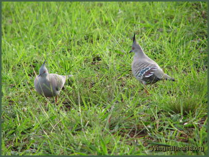 The Crested pigeons are thrilled to boots