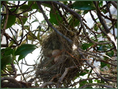 while the nest is being fortified