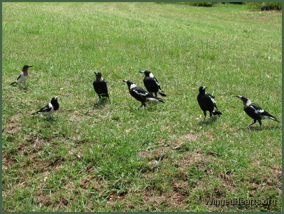 Family of magpies and butcherbirds